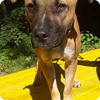 Boxer/Pit Bull Terrier Mix Dog for adoption in Pottsville, Pennsylvania - Ariel