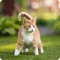 Domestic Shorthair Cat for adoption in Owatonna, Minnesota - Jaden