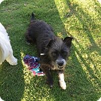Adopt A Pet :: SIMON - 1 YEAR TERRIER MALE - Mesa, AZ