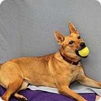 Cattle Dog Mix Dog for adoption in Naperville, Illinois - Foxy