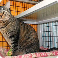 Domestic Shorthair Cat for adoption in Tucson, Arizona - JJ aka Judy