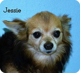 Chihuahua Dog for adoption in DuQuoin, Illinois - Jessie -approved application