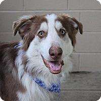 Adopt A Pet :: Dreidel - McKinney, TX