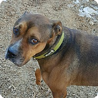 Adopt A Pet :: bruno - Gainesville, GA