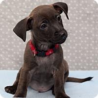 Adopt A Pet :: Tommy Bradford - Hillside, IL