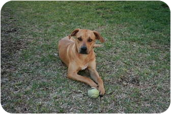 Rhodesian Ridgeback/Labrador Retriever Mix Dog for adoption in Orlando, Florida - Roadie