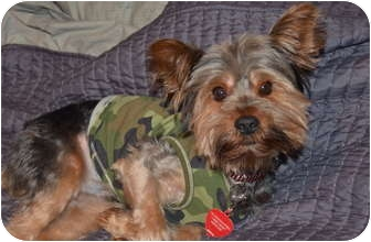 Yorkie, Yorkshire Terrier Mix Dog for adoption in Spring Hill, Florida - Leo