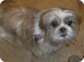 Shih Tzu Mix Dog for adoption in Toronto, Ontario - Zoey