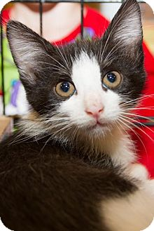 Domestic Shorthair Kitten for adoption in Irvine, California - Rocky