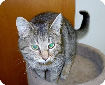 "Domestic Shorthair Cat for adoption in Scottsburg, Indiana - "" Tia """