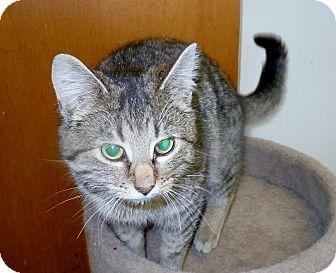 "Domestic Shorthair Cat for adoption in Scottsburg, Indiana - "" Tia """