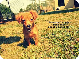 Dachshund Mix Puppy for adoption in Gadsden, Alabama - Sebaston