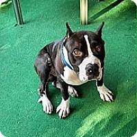 Adopt A Pet :: Brutus - Shavertown, PA