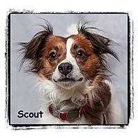 Adopt A Pet :: Scout - Warren, PA