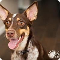 Adopt A Pet :: Whiskey (in foster) - Scottsdale, AZ