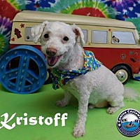 Poodle (Miniature) Dog for adoption in Arcadia, Florida - Kristoff