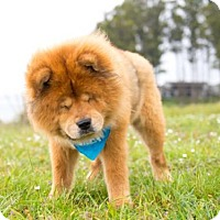 Adopt A Pet :: Leo Chow - Pacific Grove, CA