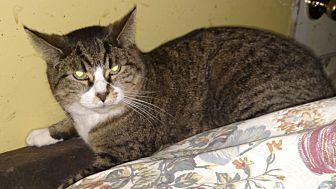 Domestic Shorthair Cat for adoption in Benton, Pennsylvania - Lilly
