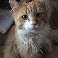 Adopt A Pet :: Nacho - Canton, OH