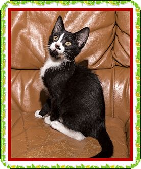 Domestic Shorthair Kitten for adoption in Mt. Prospect, Illinois - Cancun