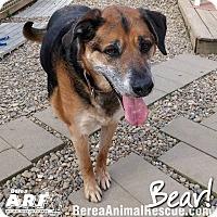 Shepherd (Unknown Type) Mix Dog for adoption in Berea, Ohio - Bear