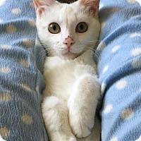 Domestic Shorthair Cat for adoption in Verona, Wisconsin - DeNali