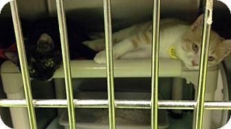 Domestic Shorthair Kitten for adoption in THORNHILL, Ontario - Sashimi