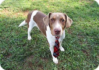 Pointer/Labrador Retriever Mix Dog for adoption in Lexington, North Carolina - SONNY
