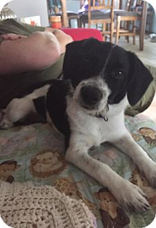 Jack Russell Terrier/Terrier (Unknown Type, Small) Mix Dog for adoption in St John, Indiana - Eddard