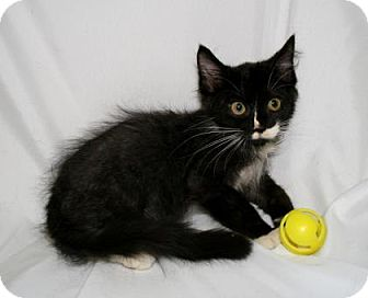 Domestic Shorthair Kitten for adoption in Bradenton, Florida - Riesling