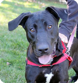 Labrador Retriever Mix Dog for adoption in Harrison, New York - Odell