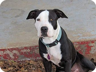 Pit Bull Terrier Mix Dog for adoption in Broken Arrow, Oklahoma - Oreo