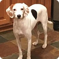 Adopt A Pet :: Nieve - Alpharetta, GA