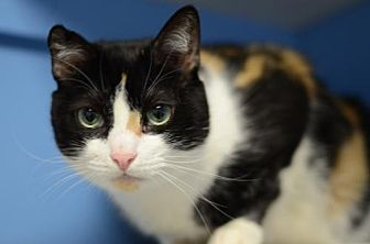 Domestic Shorthair Cat for adoption in Atlanta, Georgia - Glorious161238