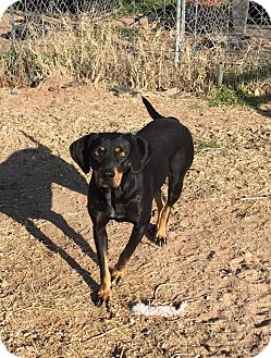 Coonhound Mix Dog for adoption in Snyder, Texas - Rousey
