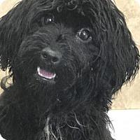 Adopt A Pet :: Dazzle - Costa Mesa, CA
