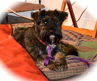 Schnauzer (Standard)/Terrier (Unknown Type, Medium) Mix Dog for adoption in Phoenix, Arizona - Bashful