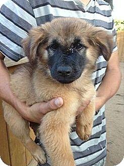 Adopted puppy el cajon ca chow chow german shepherd dog mix