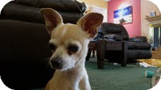 Chihuahua Mix Dog for adoption in Las Vegas, Nevada - Rosa (formerly Hannah)