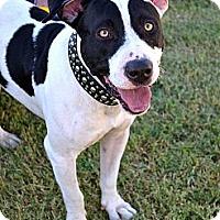 Adopt A Pet :: Oreo - Scottsdale, AZ