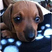 Adopt A Pet :: Daphne - Arlington, TX