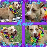 Adopt A Pet :: Rosie - Tampa, FL