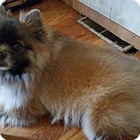 Adopt A Pet :: Ozzie - Elkhart, IN
