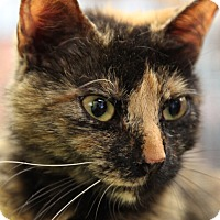 Domestic Shorthair Cat for adoption in Bronx, New York - Koko