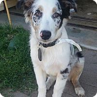 Adopt A Pet :: Simon - Phoenix, AZ