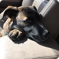 Adopt A Pet :: Yogi - Baden, PA