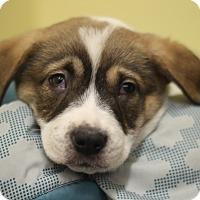 Adopt A Pet :: Ox - Waldorf, MD