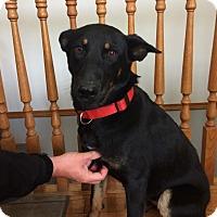 Shepherd (Unknown Type) Mix Dog for adoption in Regina, Saskatchewan - Belle