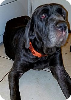 Neapolitan Mastiff Dog for adoption in Phoenix, Arizona - Nandi