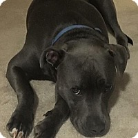 American Pit Bull Terrier Mix Dog for adoption in East Stroudsburg, Pennsylvania - Mickey